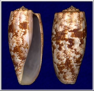 Conus geographus   Linnaeus, 1758    At night, Yomitan Reef, Okinawa, Japan (86 mm.)