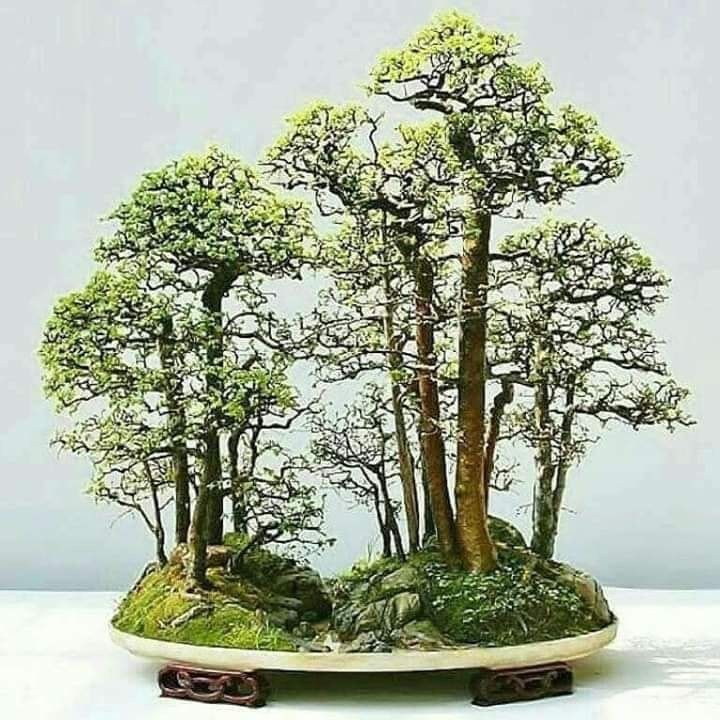 Pin By Nisse House Of Art On Bonsai Topiary Bonsai Tree Bonsai Tree Types Indoor Bonsai Tree