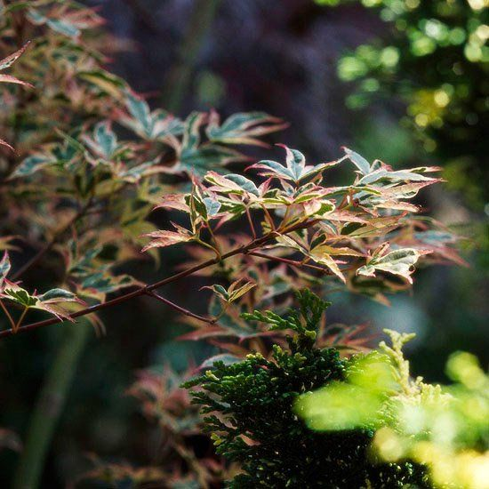 érable japonais Beni Schichiheng avec feuilles vertes avec bords jaunes