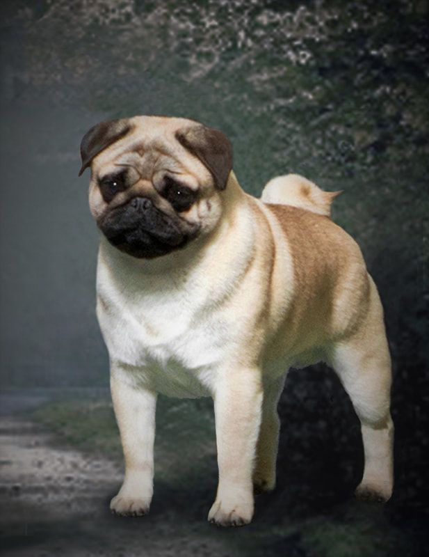 Pug Dog Breed Information Every Dog Breed Pugs Best Small Dogs
