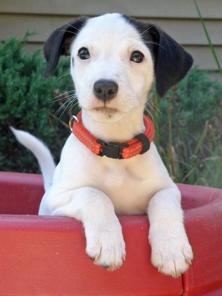 what a cute Jack Russel puppy!