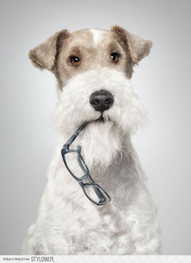 536 best WIRE FOX TERRIERS & SCHNAUZERS images on Pinterest | Wire ...