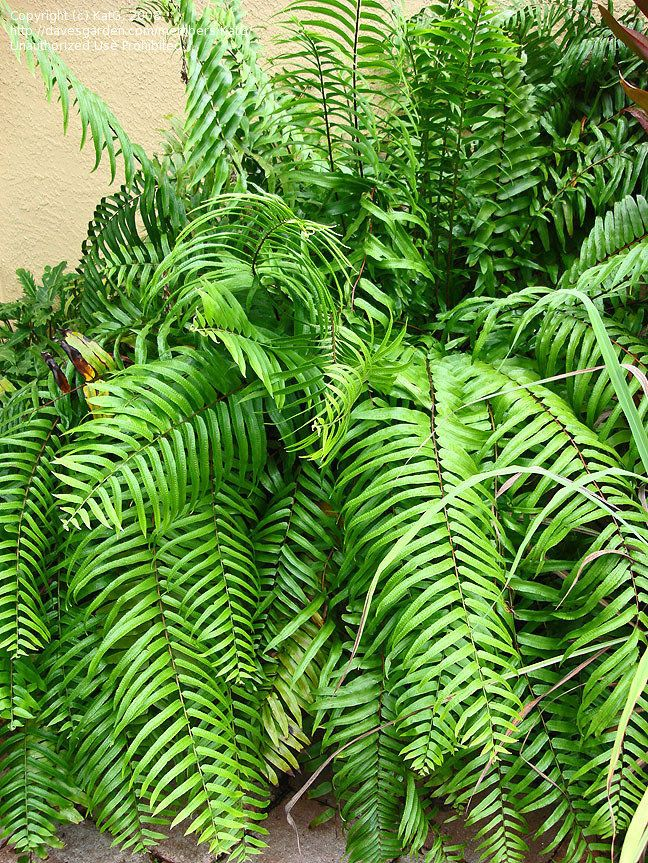 """Well I can now see why they call these """"Macho ferns""""...They grow absolutely huge. Very low maintenance also!"""