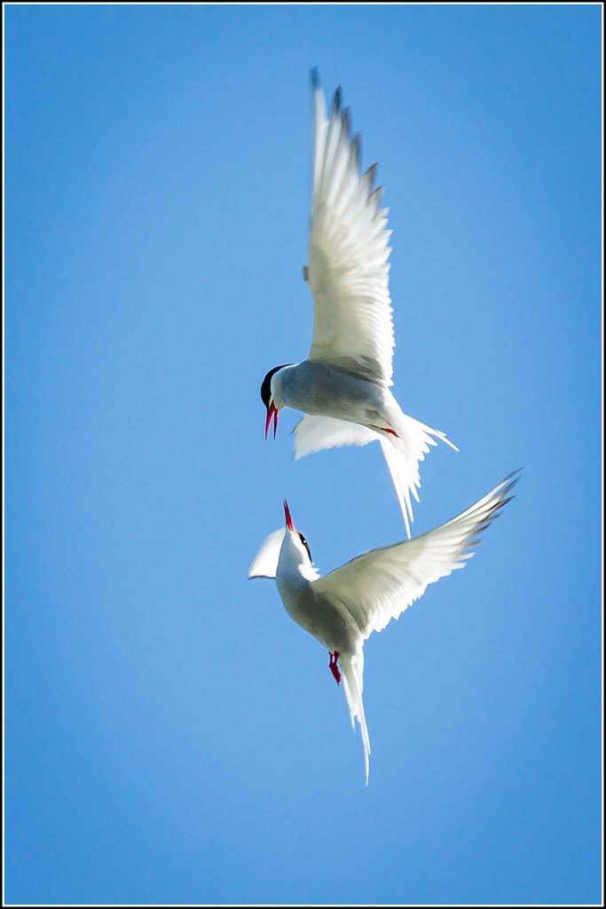 All sizes   Arctic Tern scrap   Flickr - Photo Sharing!