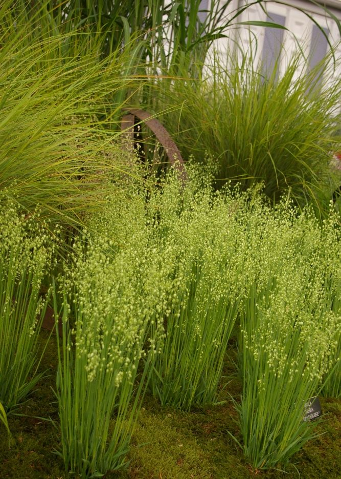 Oo, lovely plants for texture. Briza media 'GoldenBee'