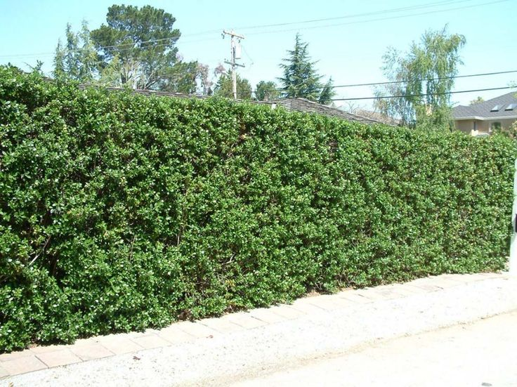50 Best Images About Drought Tolerant Hedge Ideas On Pinterest Manzanita Pink Flowers And Shrubs
