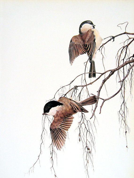 Marsh Tit, Willow Tit Bird Print - 1976 Vintage Book Page British Garden Birds
