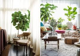 ficus indoors - Google Search