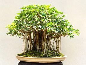 shefflera bonsai a little grove!