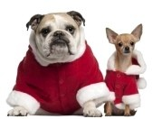 English Bulldog And Chihuahua In Santa Outfits