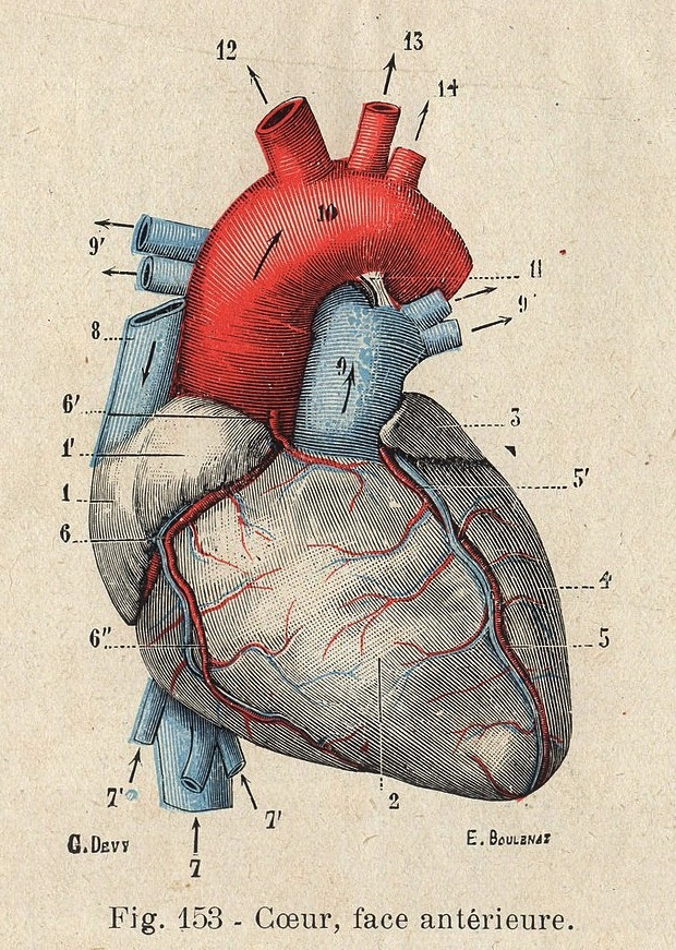 Heart Diagram Vintage Discetion - DIY Wiring Diagrams •
