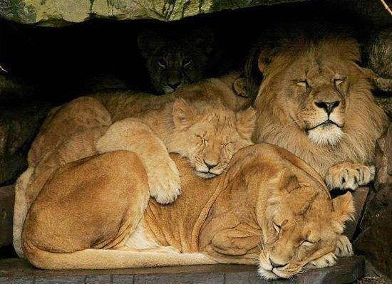 Lion family ~ Is there any room in there?