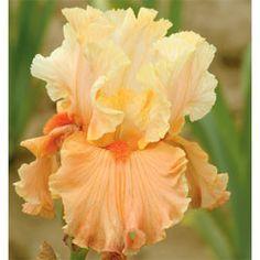 Rare Find Tall Bearded Iris