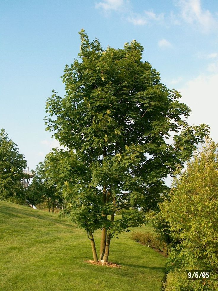 acer pseudoplatanus into the garden pinterest shrub. Black Bedroom Furniture Sets. Home Design Ideas