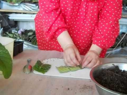 Размножаем стрептокарпус листом.