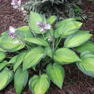 Hosta 'June':  'June' hosta has bluish leaves with irregularly shaped creamy gold centers. Pale lavender flowers bloom in late summer on 20-inch spikes. This medium-sized plant is a standout in shade or woodland gardens