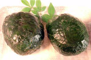 【めはり寿司】   和歌山県の郷土料理 |めはりずし  - 目を見張るほど大きな口を開けて食べる?郷土寿司 -