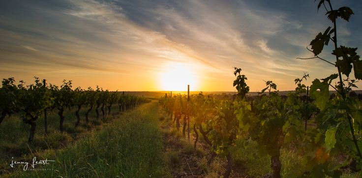 Vineyard Photography, Denmark, Mount Barker, Western Australia, Cabernet, Sunset, Summer. (c)Jenny Feast Photography
