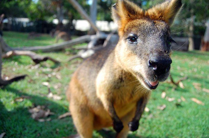 Wallaby at park, Brisbane, Australia http://www.westenddenture.com.au/