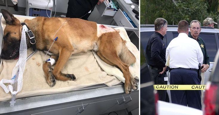 Во время перестрелки полиции с преступником, служебный пес Каспер K9 получил огнестрельное ранение, чтобы спасти своего напарника.