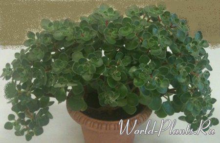 Аихризон домашний. Небольшой суккулентный кустарник высотой до 15-30 см, в диаметре может достигать 15-30 см. Листья булавидные, мясистые, средне-зеленые, опушенные, волоски белые короткие, собраны в розетки, листовая пластинка в ширину 1 см, в длину до 1,5-2 см.