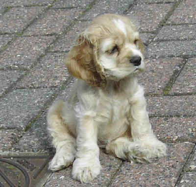 Cocker Spaniel puppies. Oh how I miss my little spaniel. He had such a beautiful soul. <3