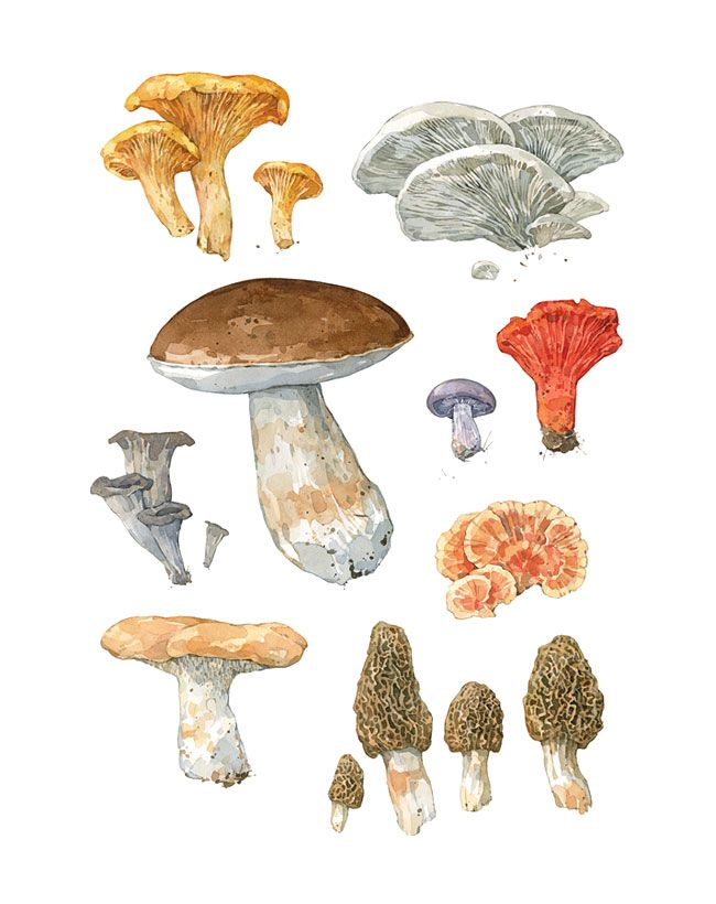 """High quality print from my watercolor painting featuring wild edible mushrooms. Included are Chanterelles, Oyster Mushrooms, King Bolete, Blewit, Lobster Mushroom, Black Trumpets, Chicken of the Woods, Hedgehog Mushroom, and Morels - 11 x 14"""" Print - Printed on 13 x 17"""" paper - Signed and dated - High quality paper and inks - Mailed in sturdy mailing tube"""