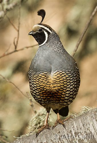 California Quail by alicecahill on Flickr*