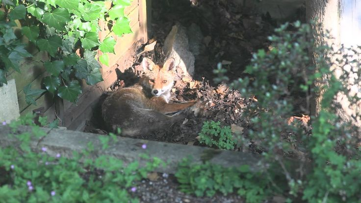 RED FOX wakes up in our Wimbledon garden - England, UK