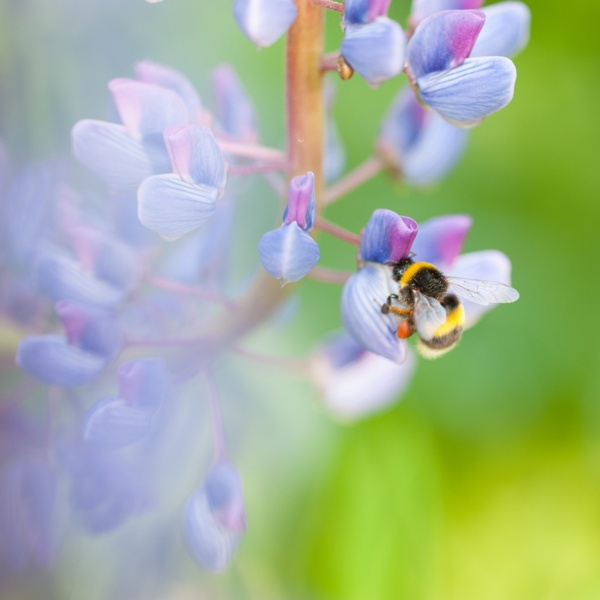 Bees and lupines by Nina Lindfors, via Behance