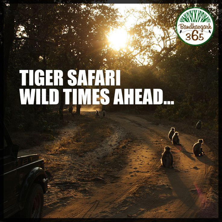 Book a Jungle Safari with us and we will take you Straight to the Wondrous Wilderness of Bandhavgarh Book: www.bandhavgarh365.com #JungleSafariinIndia #BandhavgarhTourPackages
