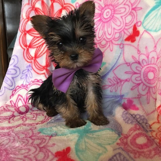 Australian Yorkshire Terrier Puppy For Sale In Ephrata Pa Adn 61619 On Puppyfi Yorkshire Terrier Puppies Yorkshire Terrier Puppy Yorkie Yorkshire Terrier Dog
