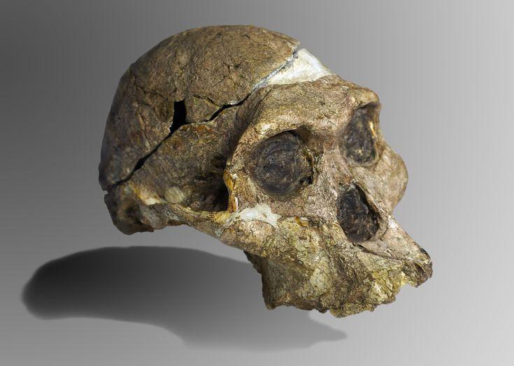 Australopithecus africanus (Mrs. Ples) was an early hominid, an australopithecine, who lived between ~3.03 and 2.04 million years ago in the later Pliocene and early Pleistocene.[2] In common with the older Australopithecus afarensis, Au. africanus was of slender build, or gracile, and was thought to have been a direct ancestor of modern humans.