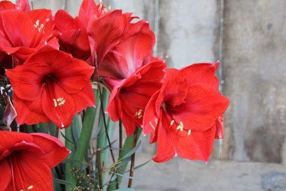 Amaryllis - elegant sør-amerikaner | Hageland.no