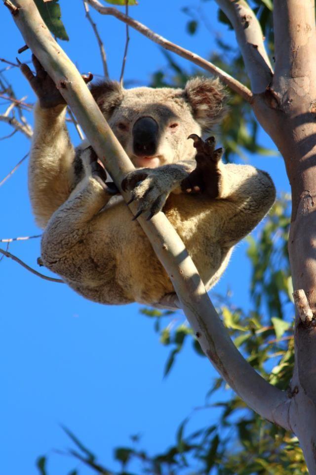 Koala...