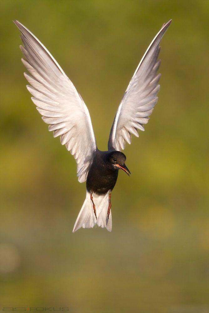 engelsgleich - Black tern / Trauerseeschwalbe Chlidonias niger