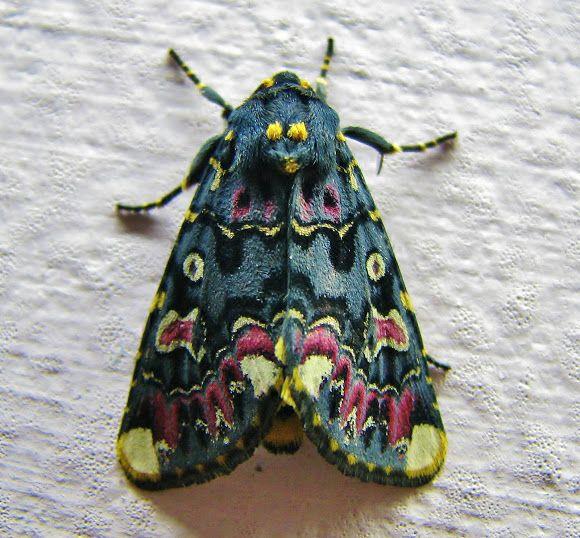 Spotting Image 1Polytela gloriosae  moths of Maharashtra