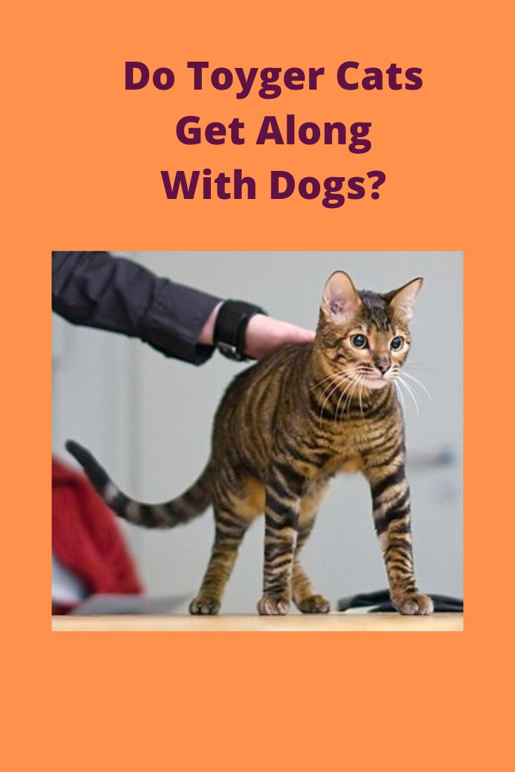 Do toyger cats get along with dogs