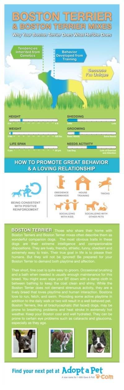 Everything you ever wanted to know about Boston Terrier and Boston Terrier mixes. www.adoptapet.com