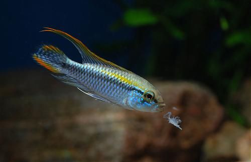 ... about Apistograma & Rams on Pinterest Harems, Auction and Cichlids