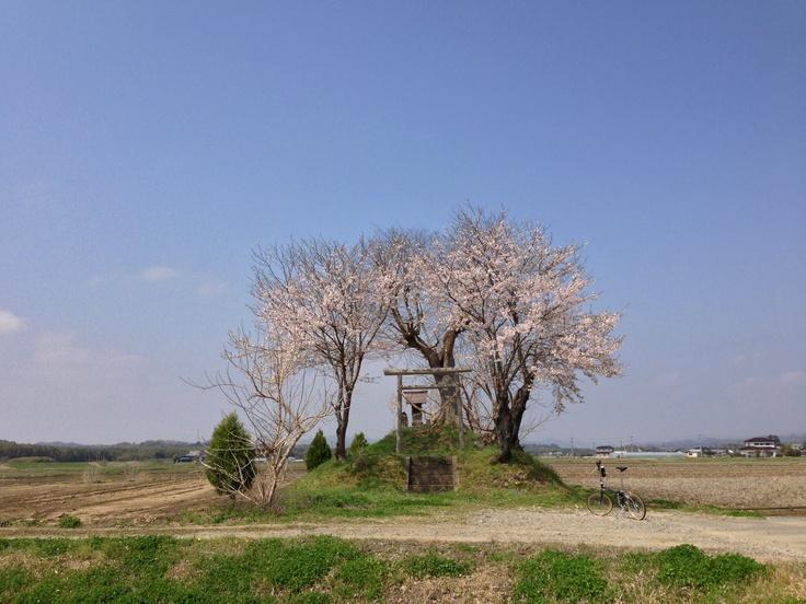 ©taniguさま / Boardwalk D7 2006年 / いつも自宅に近い久慈川界隈などを走り回っているのですが、この季節になるとのどかな田園風景のあちらこちらに、そこだけ白い光を放つかのように華やいだスポットが出現します。遠くからそれを見つけては、農道や畦道を辿りつつそこまで行って、静かに咲いている桜を眺めるのが楽しくて仕方ありません。こういうのんびりした「サクライド」には、ボードウォークがぴったりです。 応募写真の1枚目と2枚目は、そうして見つけた私のとっておきのスポットです。田んぼの真ん中にぽつんと祀られている水神様の桜で、今年もきれいに咲いていました。 そして3枚目は、常陸大宮市の久慈川・辰ノ口親水公園の桜並木です。延々1キロにわたり、まだ若い桜の木がずらりと並んで咲き誇り、震災から徐々に立ち直りつつある地元の人々を明るく和ませてくれます。