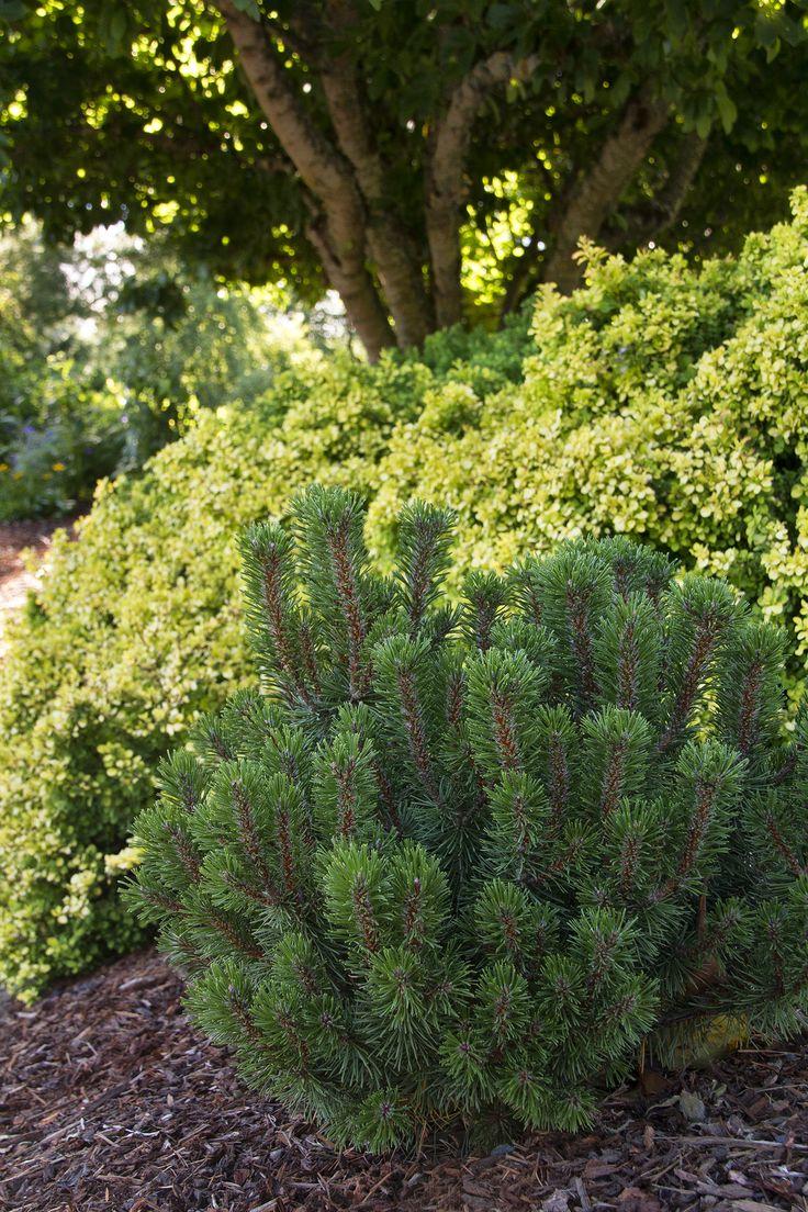 274 best shrubs images on pinterest for Tall evergreen shrubs