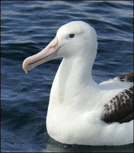 Northern Royal Albatross-Kaikoura_New Zealand-dd