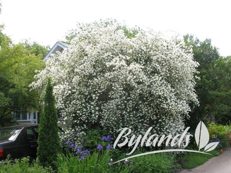 Waterton Mock Orange This Is Such A Standout Shrub And The Flowers Are So Fragrant The Bark Also Peels Off Into Tiny S Plants Landscaping Plants Mock Orange