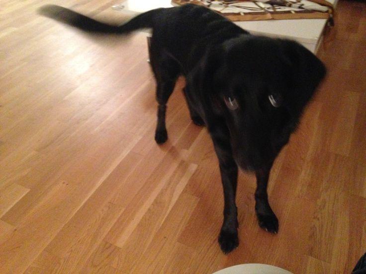 Calida Labrador-Mischling | Pawshake