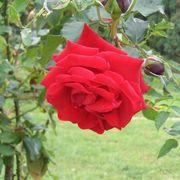 Climbing Rose Bush Care | eHow