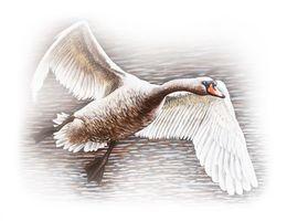 Beautiful Swan Flying  by simon-knott-fine-artist at zippi.co.uk