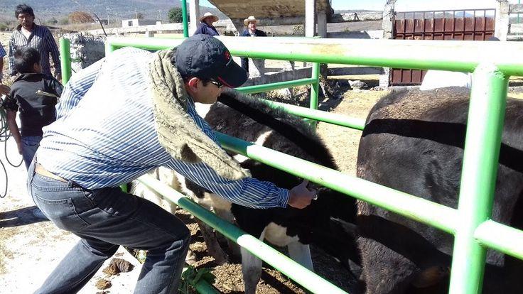 Con la vacunación de cerca de 200 cabezas de bovinos en la Tenencia de San Nicolás Obispo, arrancó el Programa de Sanidad Animal 2017 en el municipio de Morelia, la ...