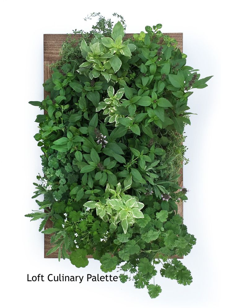 Herb wall garden sage living wall sage Indoor living wall herb garden
