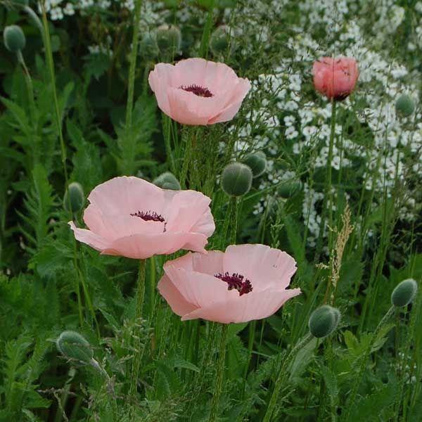 Le Pavot d'Orient Queen Alexandra, Tout le charme du jardin anglais.